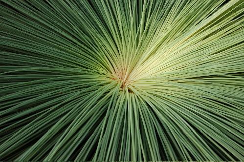 grasstree1.JPG